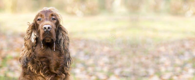 Cão babando fotografia de stock royalty free