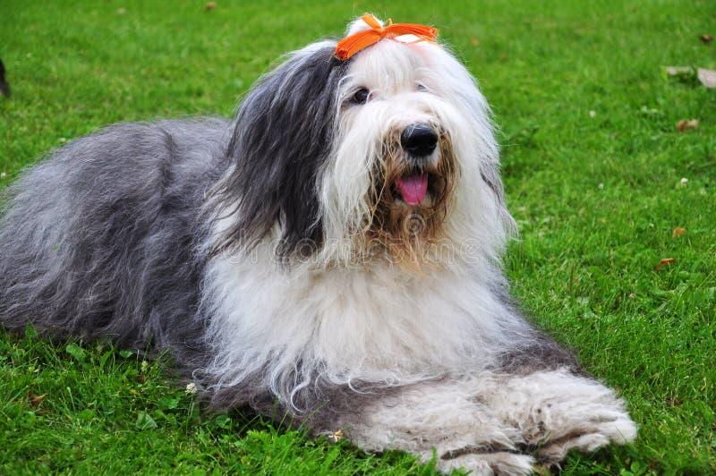 Cão Bobtail imagens de stock