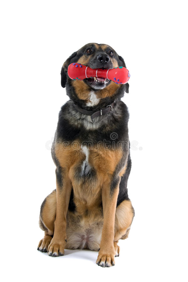 Cão bonito com o brinquedo na boca fotografia de stock