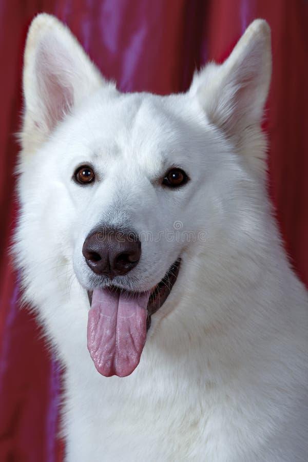 Cão bonito da cor branca nevado no fundo magenta Raça suíça branca grande do pastor Retrato ascendente próximo do cão sábio com f imagens de stock