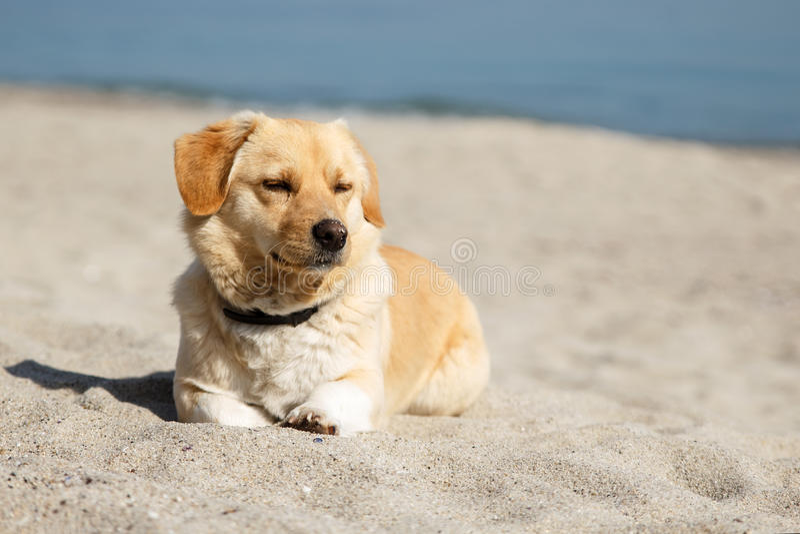 Cão bonito da raça da mistura que encontra-se na praia com os olhos fechados do prazer do sol e do tempo morno Copie o espaço imagens de stock