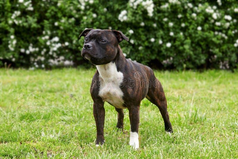 Cão bonito da raça de Staffordshire bull terrier, cor escura do tigre com o olhar melancólico, estando no fundo verde do gramado imagens de stock
