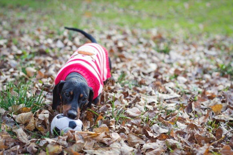 Cão bonito da raça do bassê, preto e marrom, na roupa branca vermelha camiseta, revestimento que joga com uma bola do brinquedo e fotos de stock royalty free