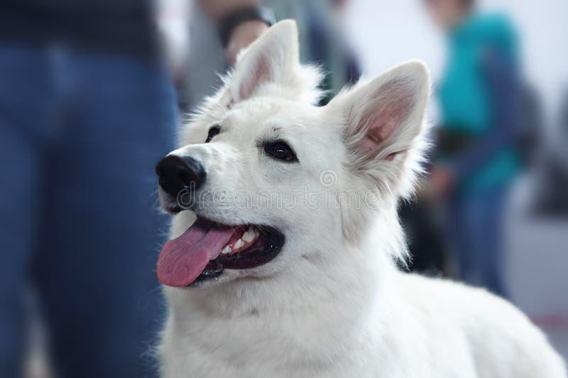 Cão bonito da raça suíça branca do pastor Retrato ascendente próximo do cão sábio com olhar de sorriso feliz fotografia de stock royalty free