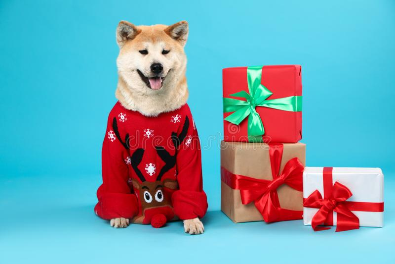 Cão bonito de Akita Inu no Natal próximo a caixas de presentes em fundo azul fotos de stock royalty free