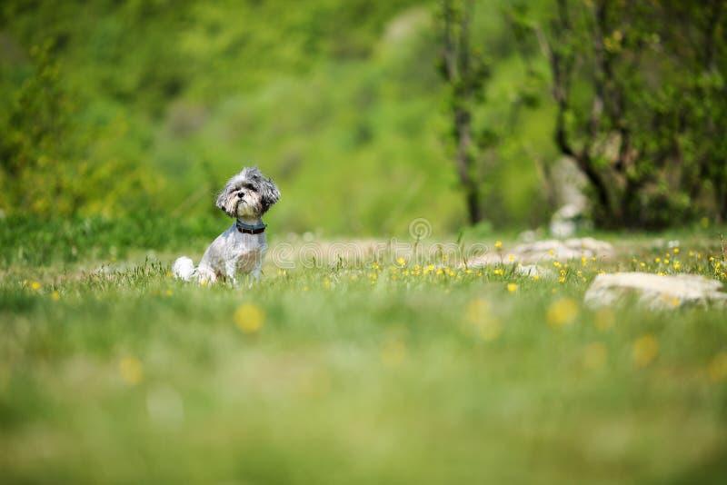 Cão bonito de Bichon Havanese com corte de cabelo do verão que aprecia o sol em um esclarecimento bonito, verde Foco seletivo, pr imagens de stock