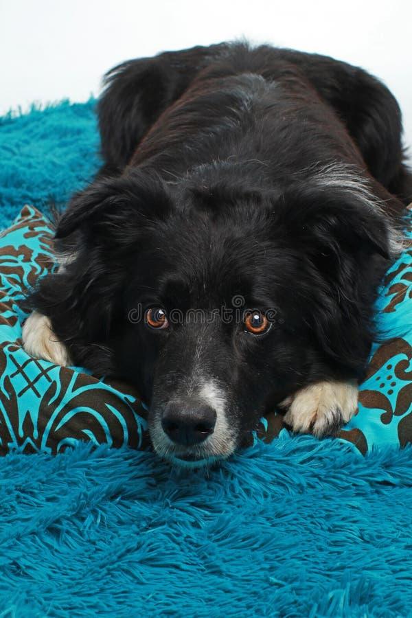 Cão bonito de border collie que encontra-se em um coxim azul fotografia de stock royalty free