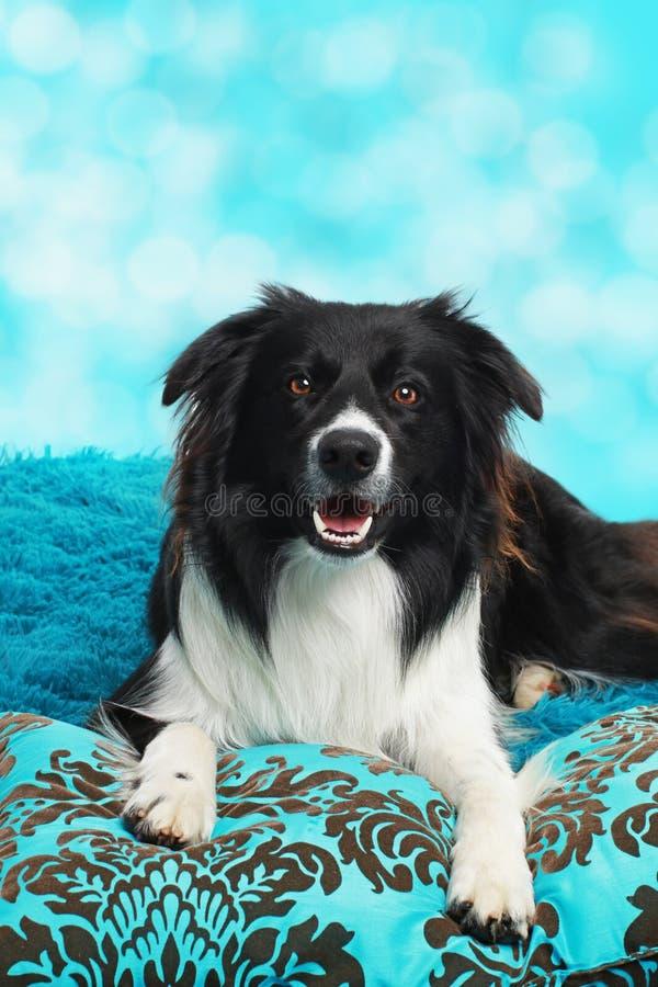 Cão bonito de border collie que encontra-se em um coxim azul imagens de stock royalty free