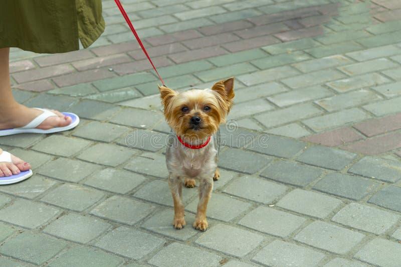 Cão bonito de Brown em uma trela e em uma senhora dos pés foto de stock royalty free
