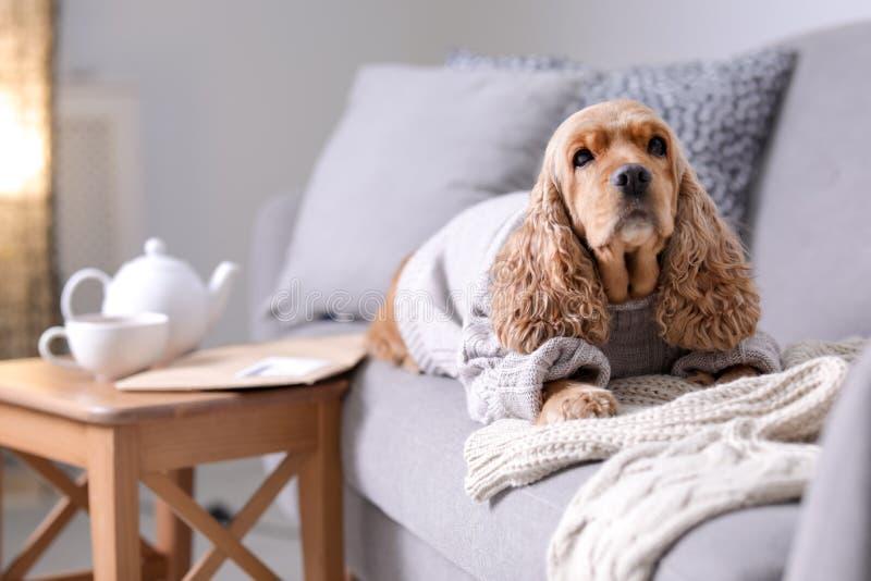 Cão bonito de Cocker Spaniel na camiseta feita malha fotografia de stock royalty free