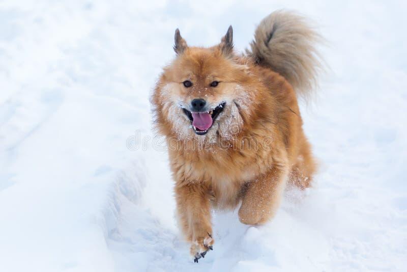Cão bonito de Elo que corre na neve imagem de stock royalty free