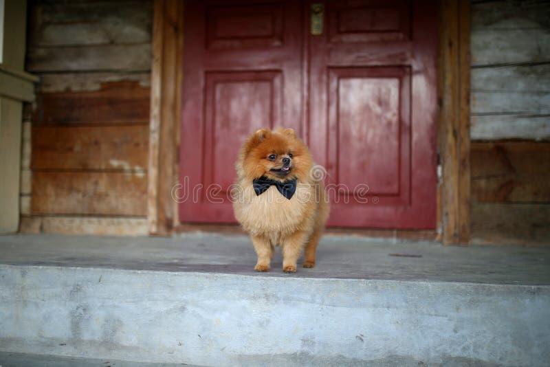 Cão bonito de Pomeranian Cão sério perto da porta Cão bonito imagem de stock