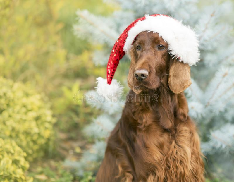 Cão bonito de Santa Claus do Natal fotos de stock