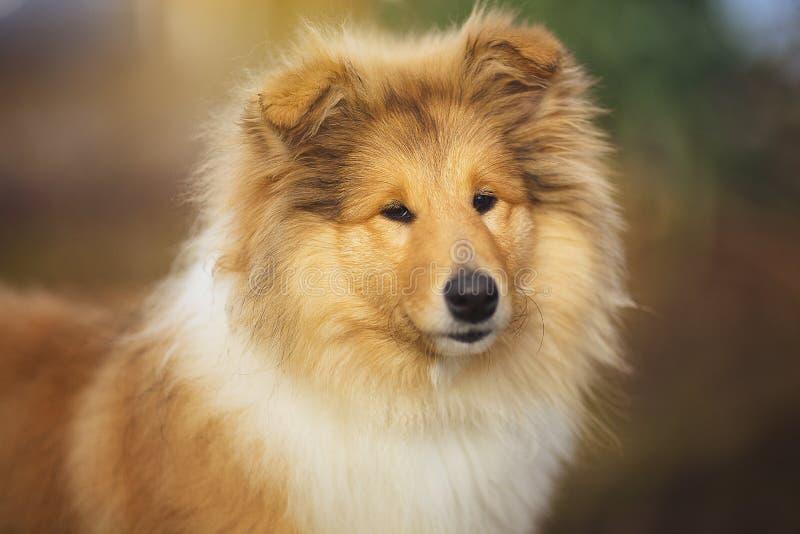 Cão bonito de Sheltie na natureza fotografia de stock