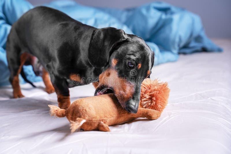 Cão bonito do bassê da raça, preto e bronzeado, jogando com um brinquedo, triturando o, na cama na casa fotografia de stock