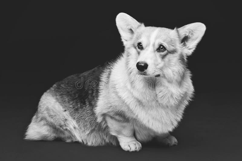 Cão bonito do corgi de galês fotos de stock royalty free