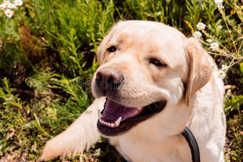 Cão bonito do encontro da raça de Labrador foto de stock