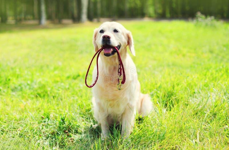 Cão bonito do golden retriever com a trela que senta-se na grama fotos de stock royalty free