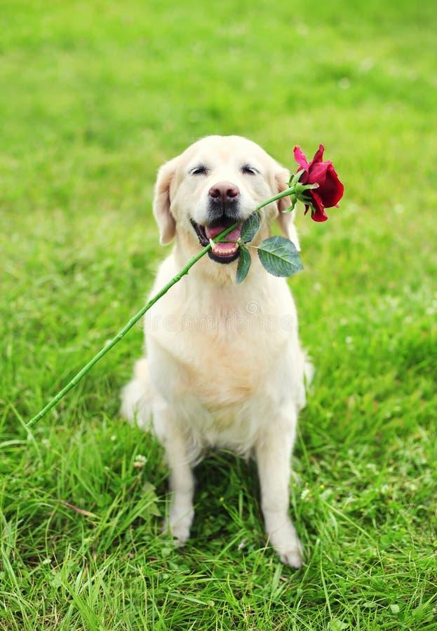 Cão bonito do golden retriever que guarda a flor vermelha nos dentes fotos de stock
