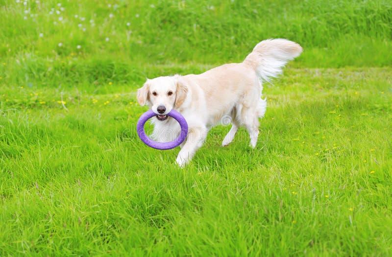 Cão bonito do golden retriever que joga com brinquedo de borracha fotografia de stock royalty free