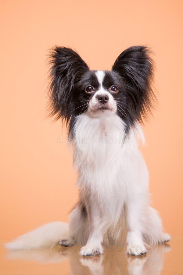 Cão bonito do papillon que senta-se no fundo cor-de-rosa fotos de stock