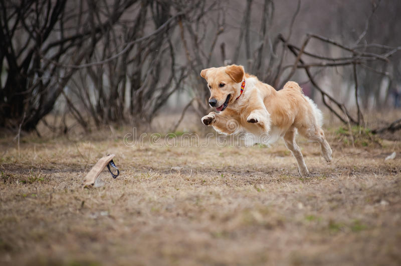Cão bonito do Retriever dourado que joga com um brinquedo imagens de stock