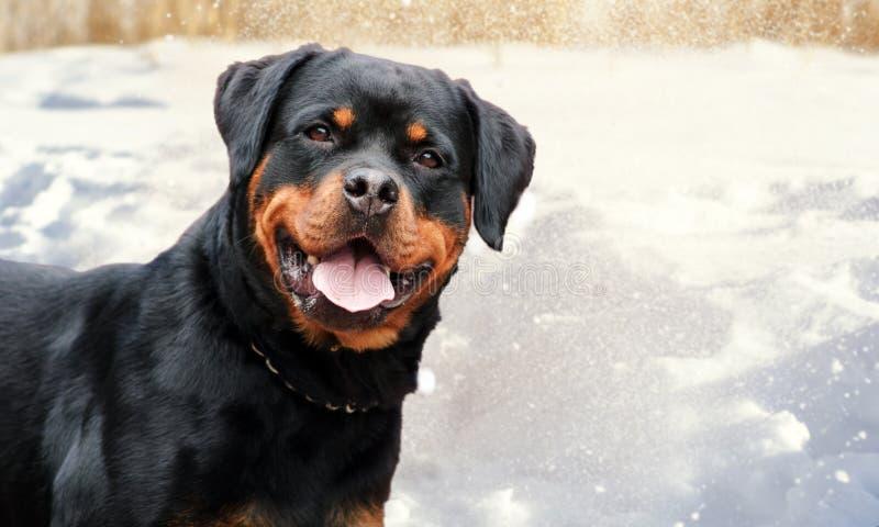Cão bonito do rottweiler no fundo da neve fotografia de stock
