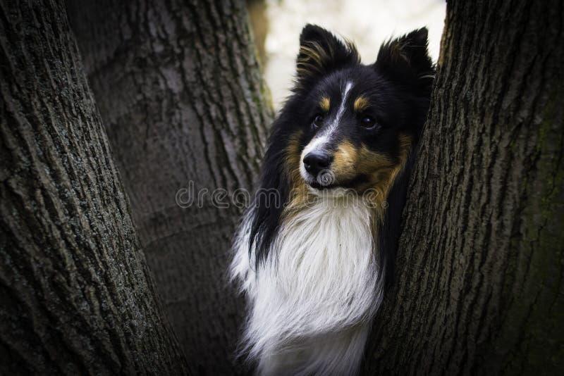Cão bonito do sheltie que esconde entre árvores imagens de stock royalty free