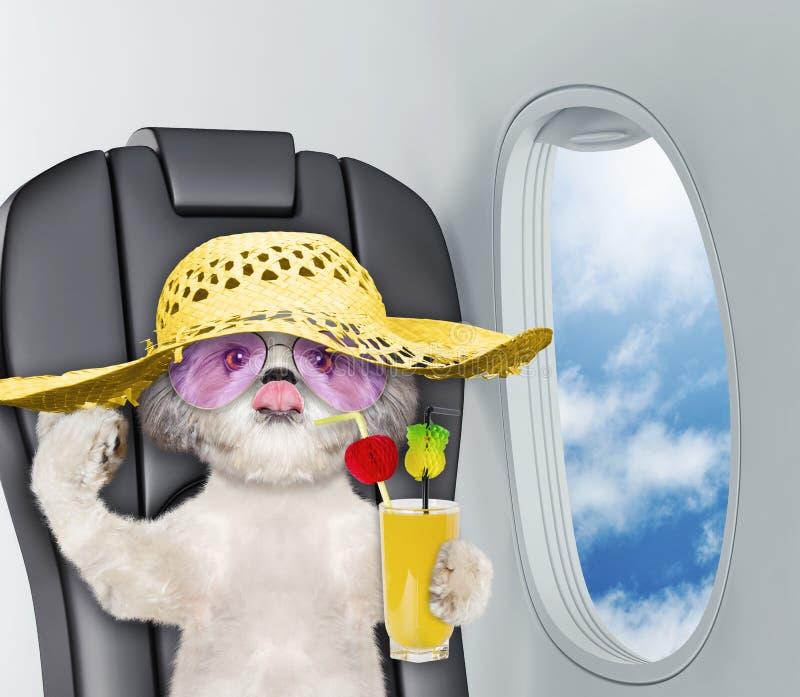 Cão bonito do shitzu a bordo do airplain com suco imagens de stock royalty free