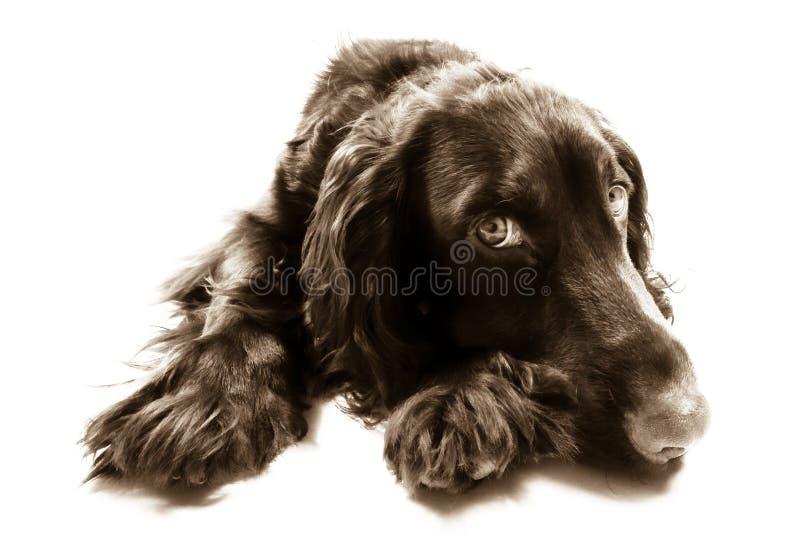 Cão bonito do spaniel de cocker de Brown imagem de stock