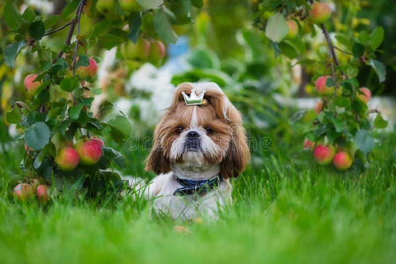 Cão bonito do tzu do shih no pomar de maçã Cão que levanta e que olha a câmera em um fundo da suspensão das maçãs foto de stock royalty free