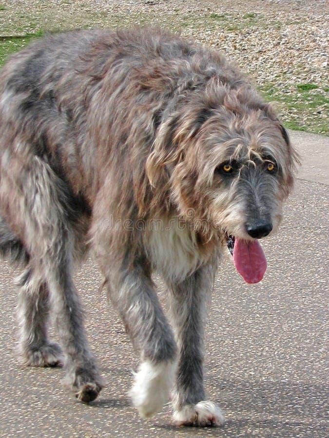 Cão bonito do wolfhound irlandês imagens de stock royalty free