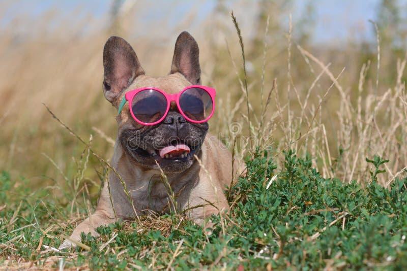 Cão bonito e feliz engraçado do buldogue francês que veste óculos de sol cor-de-rosa no verão ao encontrar-se na terra foto de stock royalty free