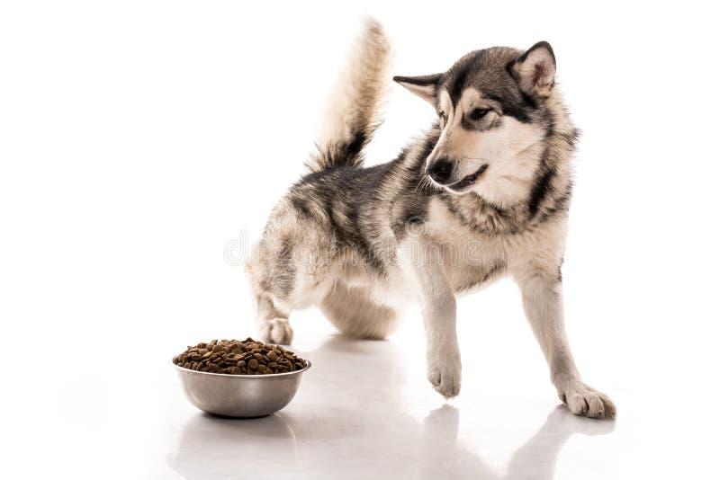 Cão bonito e seu alimento seco favorito em um fundo branco imagens de stock royalty free