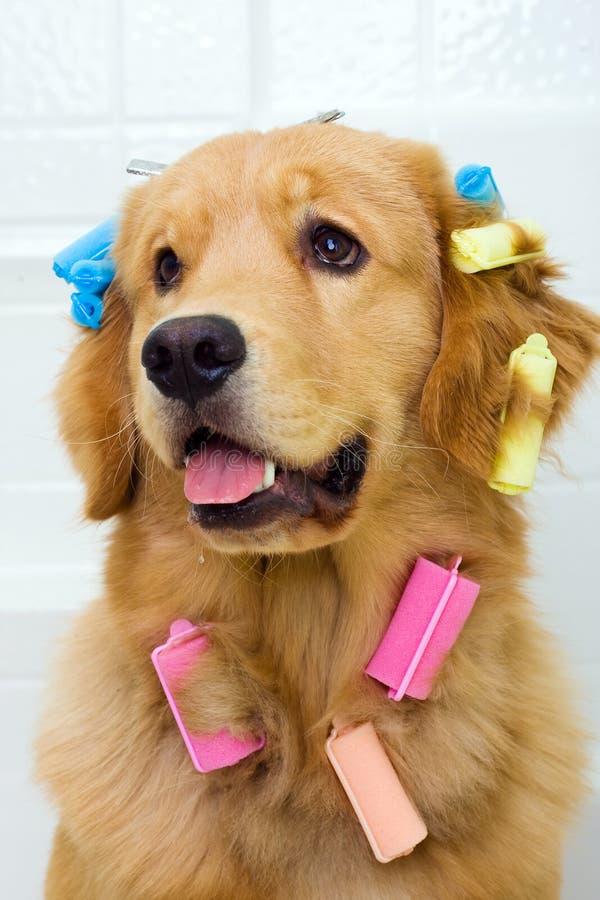 Cão bonito em encrespadores de cabelo fotos de stock