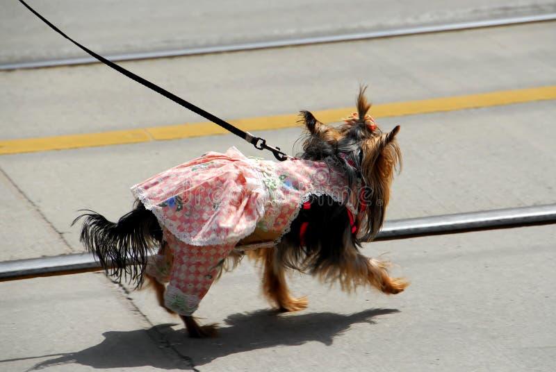 Cão bonito em um vestido fotos de stock
