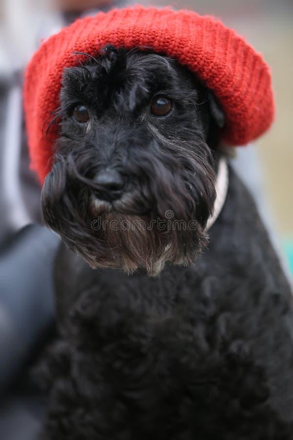 Cão bonito engraçado preto com chapéu vermelho foto de stock royalty free