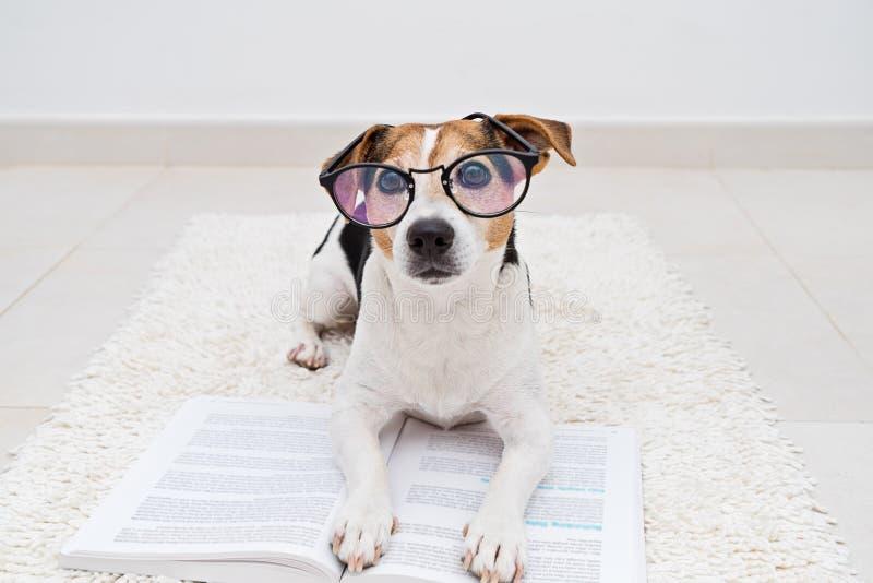 Cão bonito esperto que encontra-se com o livro aberto nos monóculos imagem de stock
