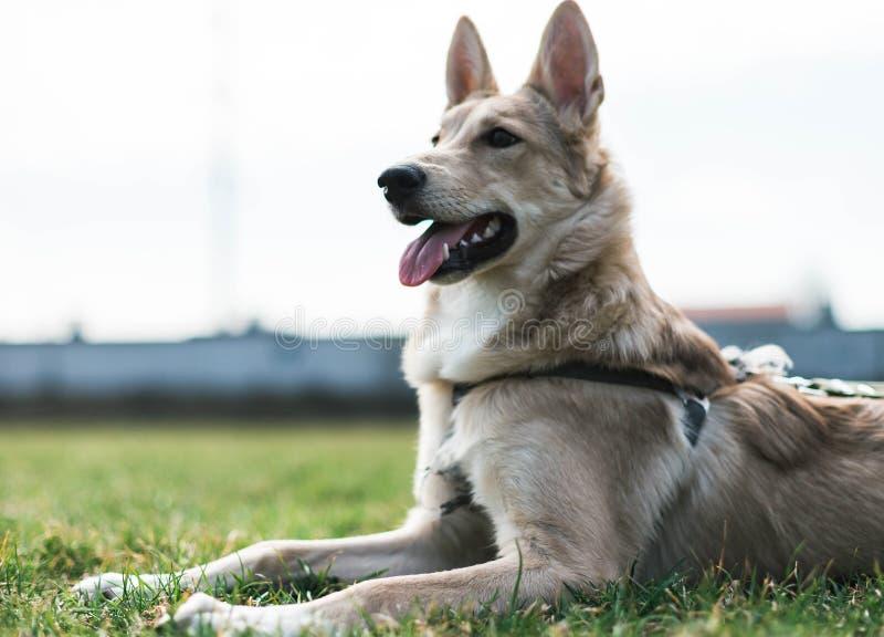 Cão bonito, olhares roncos na distância fotos de stock