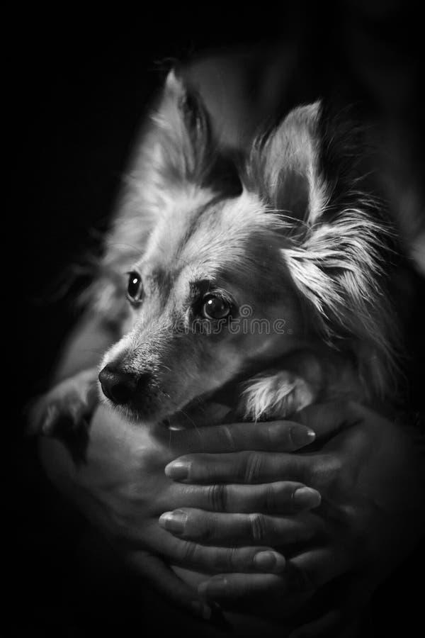 Cão bonito pequeno em preto e branco guardado pelo proprietário imagens de stock