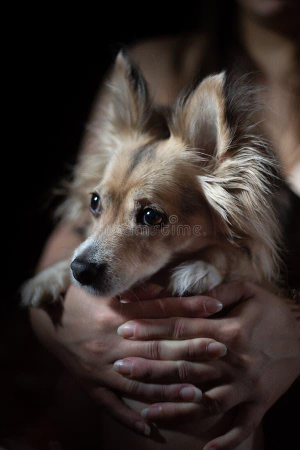 Cão bonito pequeno guardado e protegido pelo proprietário imagens de stock
