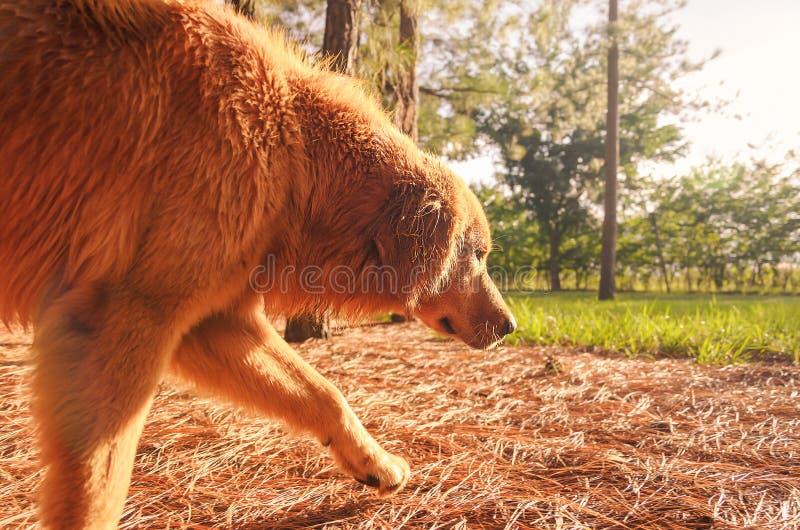 Cão bonito que anda na natureza no por do sol foto de stock royalty free
