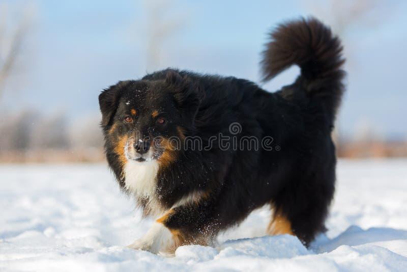 Cão bonito que anda na neve foto de stock royalty free