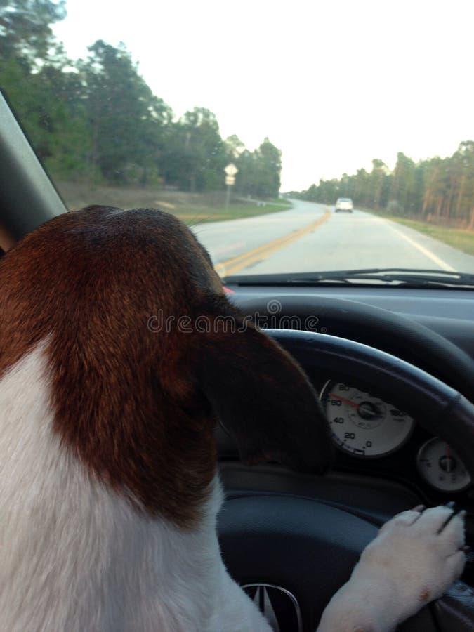 Cão bonito que conduz o carro do acura abaixo das patas da estrada no volante fotos de stock royalty free