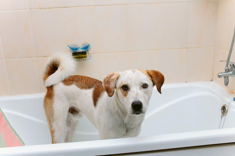 Cão bonito que está na banheira que espera para ser lavado foto de stock