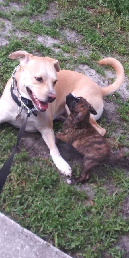 Cão bonito que joga com filhote de cachorro imagens de stock