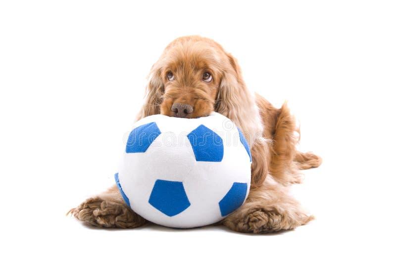 Cão bonito que mastiga a esfera de futebol foto de stock royalty free