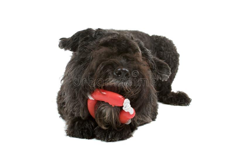 Cão bonito que mastiga o brinquedo fotos de stock