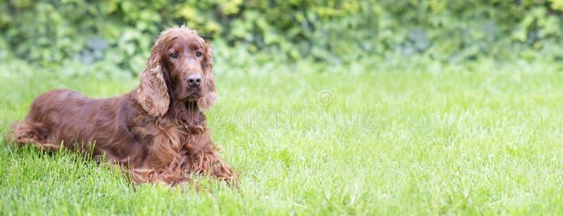 Cão bonito que olha na grama imagens de stock royalty free