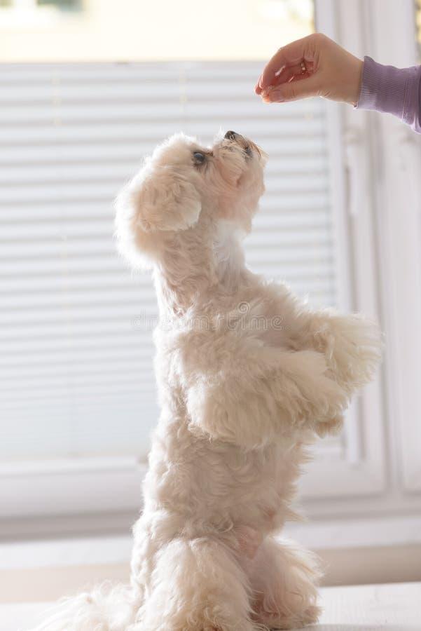 Cão bonito que pede o alimento imagens de stock